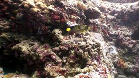 Butterfly fish underwater natural aquarium of sea and ocean in Maldives. Unique video footage. Abyssal relax diving. Beautiful animals stock footage