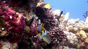 Butterfly fish underwater natural aquarium of sea and ocean in Maldives. Unique video footage. Abyssal relax diving. Beautiful animals stock video
