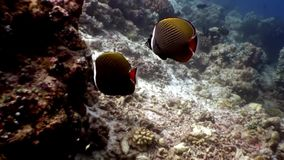 Butterfly fish underwater natural aquarium of sea and ocean in Maldives. Unique video footage. Abyssal relax diving. Beautiful animals stock video footage