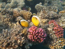 Butterfly fishes Royalty Free Stock Photos
