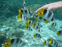 Butterfly fishes feeding Royalty Free Stock Photo