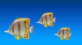 Butterfly fishes Stock Images