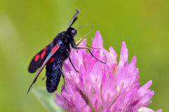 Butterfly Five-spot Burnet on clover flower Royalty Free Stock Photography