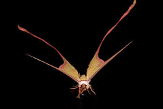Butterfly flame moth. On black background Stock Photos