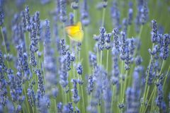 Butterfly while flapping its wings on lavender flowers. Yellow butterfly while flapping its wings on lavender flowers Royalty Free Stock Photography