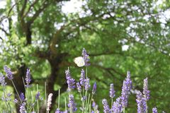 Butterfly Flapping Wings on Lavender stock images