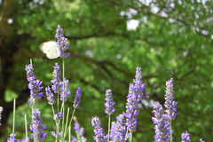Butterfly Flapping Wings on Lavender Royalty Free Stock Photos