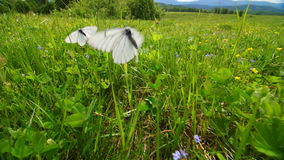 Butterfly flies on a meadow.