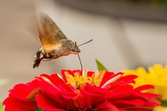 Butterfly flies over red flower. Butterfly flies over beautiful red flower and takes some honey in Indian Summer in Korea Royalty Free Stock Photo