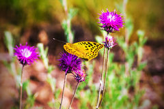 Butterfly flies to flowers meadow, nature background Royalty Free Stock Images