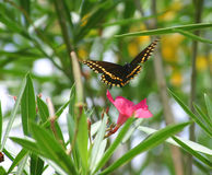 Butterfly in flight. Black and yellow spotted butterfly flying off a flower stock image