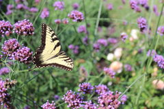 Butterfly in Flight. A beautiful gold and black butterfly flying away after being nestled on top of the purple flowers Stock Images