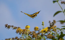 Butterfly in flight. A black and yellow butterfly in flight Royalty Free Stock Photography