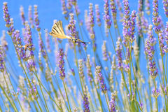 Butterfly in flight Stock Images