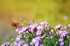 Butterfly flitting above flowers on a summer meadow Stock Photo