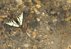 Butterfly Floats on Water Royalty Free Stock Photos