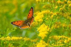 Butterfly and floral background Royalty Free Stock Images