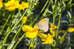 Butterfly on a floret. The butterfly has sat down on a yellow flower and collects pollen Stock Image