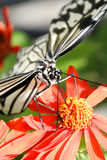 Butterfly in Florida Royalty Free Stock Photo