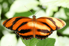 Butterfly in Florida Royalty Free Stock Photography