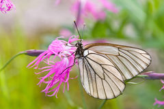 The butterfly on a flower. The white butterfly on a purple flower Royalty Free Stock Image