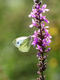 Butterfly on flower. White butterfly on a purple flower Royalty Free Stock Images