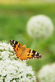Butterfly on a flower. Black and orange butterfly on a white flowers stock photography