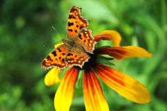BUTTERFLY ON A FLOWER. Beautiful butterfly on a summer flower Royalty Free Stock Photography