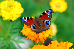 The butterfly on a flower. The butterfly on a yellow flower Royalty Free Stock Photography