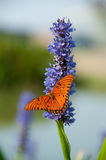 Butterfly on Flower. Gulf Fritillary on Lillac Flower Royalty Free Stock Photos