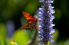 Butterfly on Flower. Gulf Fritillary on Lillac Flower Stock Photography