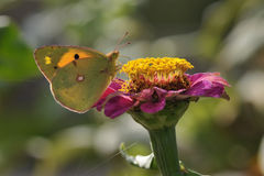 Butterfly and flower. Pink flower (zinnia) in the middle of the garden. butterfly species Colias crocea Stock Image