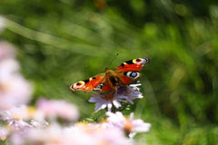 Butterfly on the flower. Macro picture of bytterfly on the flower with green background Royalty Free Stock Photo