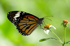 Butterfly on the flower. For background use Stock Images