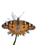 Butterfly on flower. Isolated on white beautiful butterfly on flower royalty free stock photography