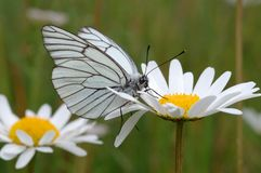 Butterfly on a flower. Royalty Free Stock Photo