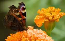 Butterfly on a flower. Peacock butterfly on an orange flower Royalty Free Stock Photo