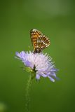 Butterfly on the flower. Walk through the meadow butterflies Royalty Free Stock Photo