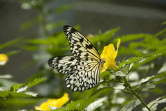 Butterfly and flower. A pretty butterfly feeding from a yellow flower Royalty Free Stock Image