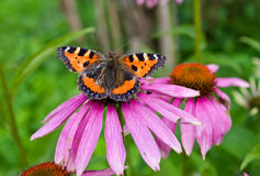 Butterfly on a flower. Butterfly on flower closeup shot Royalty Free Stock Photo
