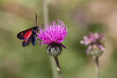Butterfly on flower. A butterfly with red and blue wings sips honey from a pink flower Stock Photo