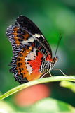 Butterfly on flower. Found in the tropical garden Stock Photography