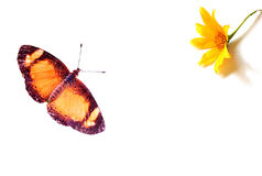 Butterfly and Flower. A butterfly approaching a flower isolated on white Royalty Free Stock Photos