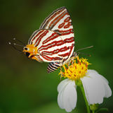 Butterfly on flower. Butterfly eating nectar from a flower royalty free stock photo
