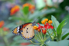 Butterfly on flower. Close-up of beautifull butterfly on a flower Royalty Free Stock Images