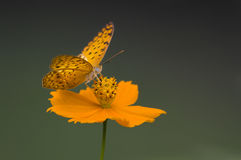 Butterfly on Flower. Common Leopard butterfly on a yellow flower shot during monsoons stock photo
