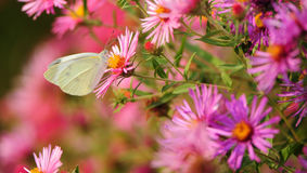 Butterfly Flower Royalty Free Stock Photography