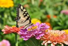 Butterfly on Flower. Black and Yellow butterfly feeding on nectar from a garden of  Zinnia flowers Stock Image