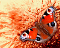 Butterfly on a flower. European peacock butterfly (Inachis io) on a flower royalty free stock photography