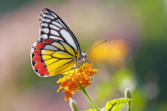 Butterfly on a flower. Painted jezebel Butterfly on a flower Stock Photos